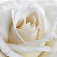Rose-183